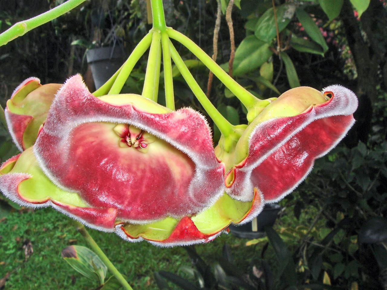 Hoya carnosa - Flor da Planta de Cera Lazuterbachii
